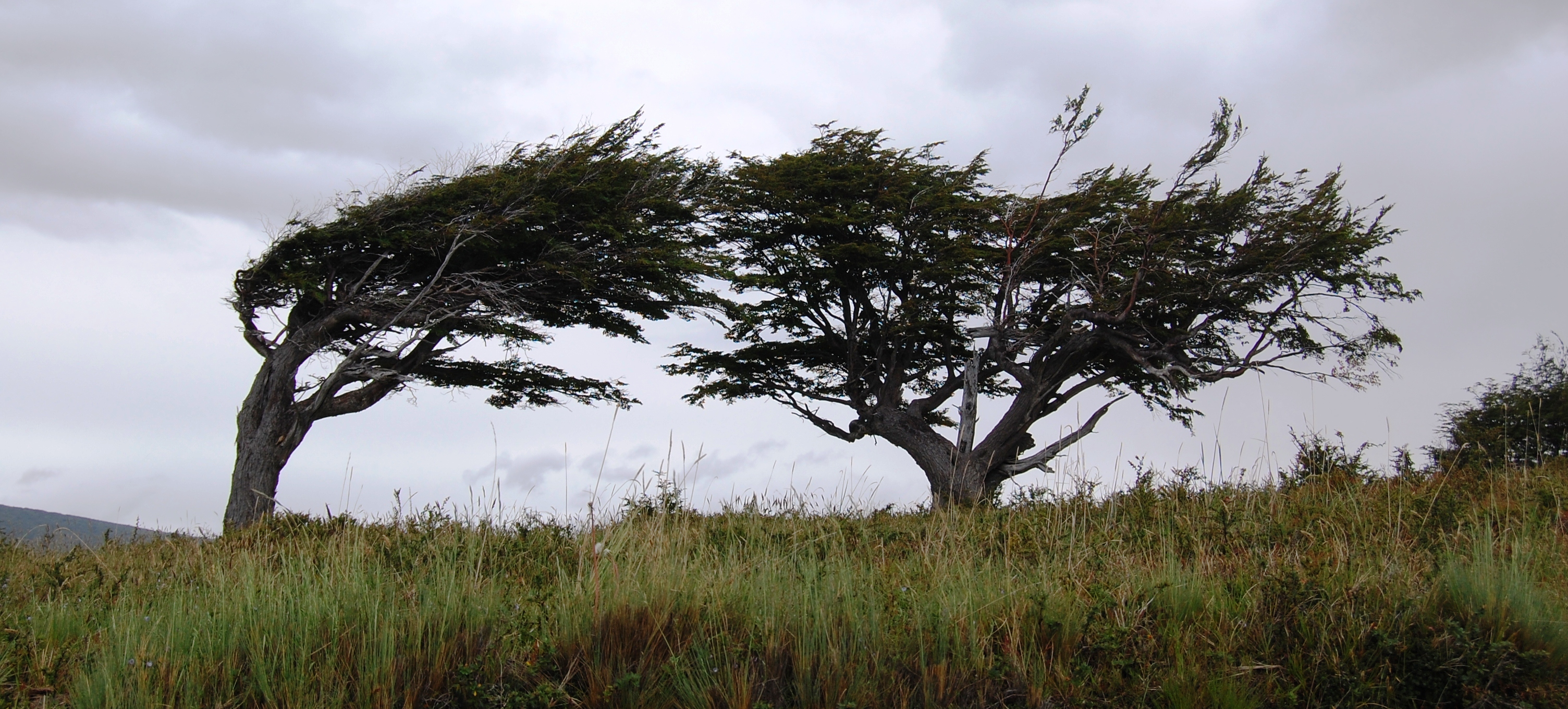 Two low trees with branches worn by weather and wind
