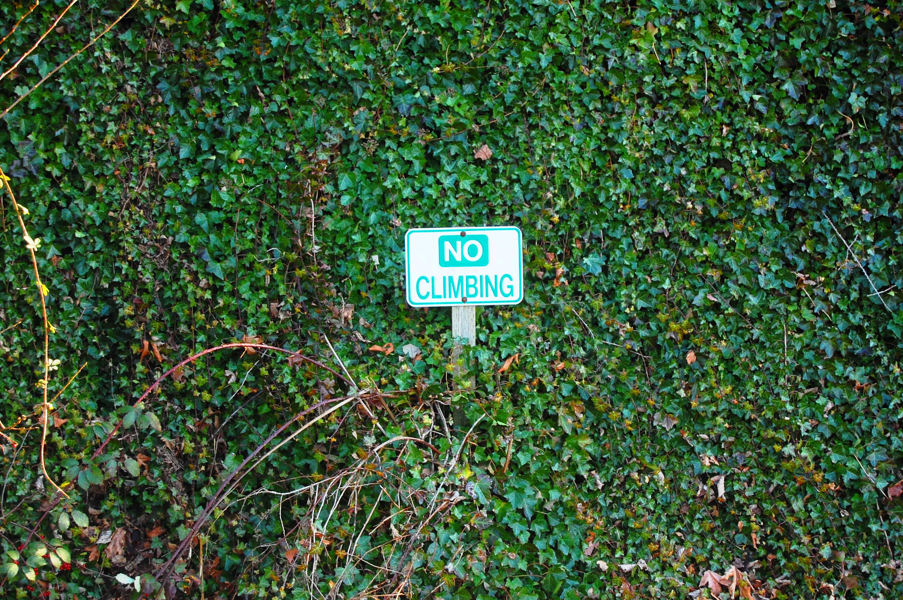 "Climbing ivy reaching up past a sign saying ""No Climbing"""