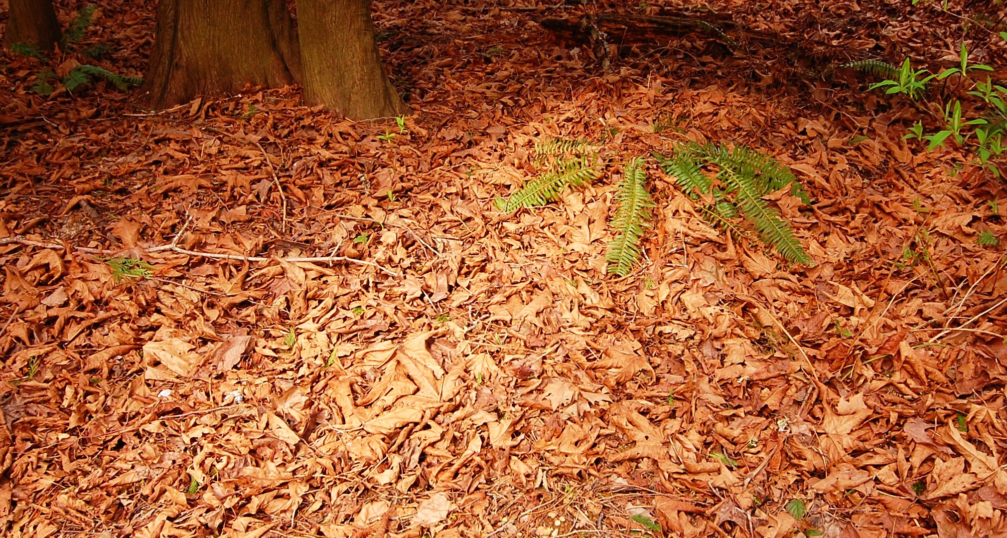 Dried orange maple leaves in a forest clearing.