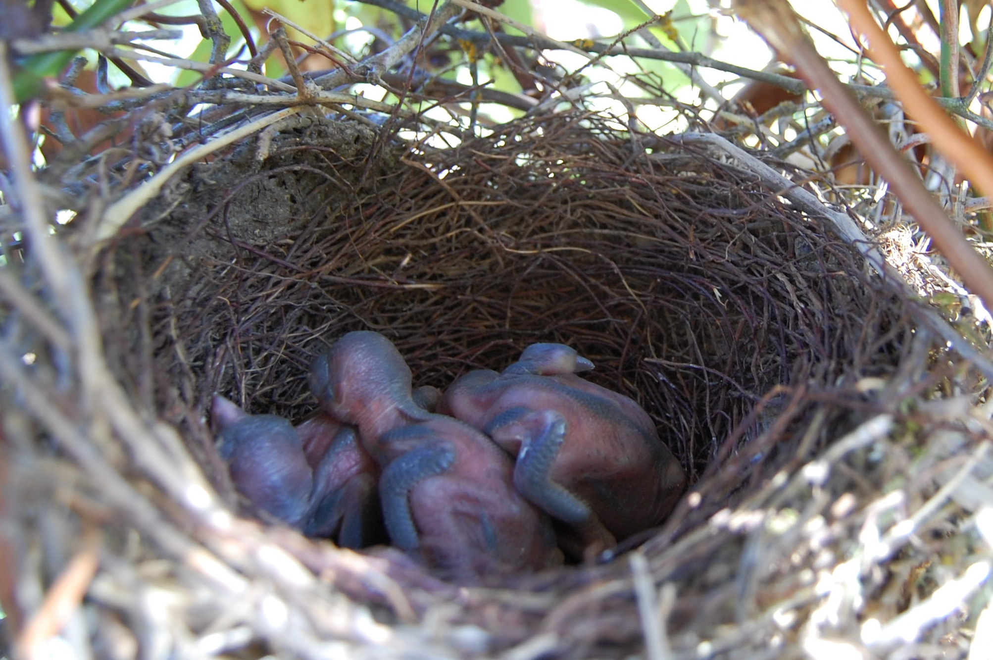 Three featherless Bluejay bird chickens sleeping in a nest