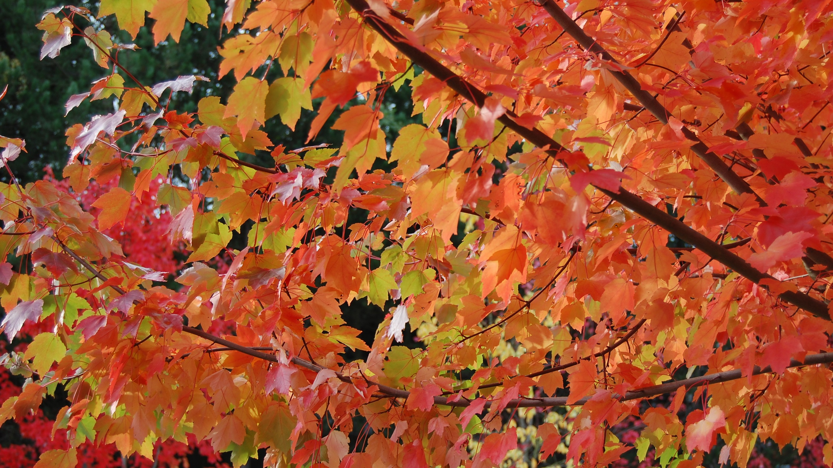 Maple leaves in bright colors of red, orange, green and yellow.